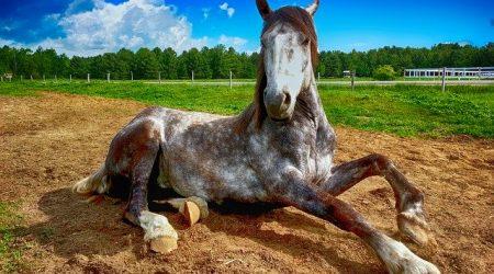traiter la gale de boue chez le cheval